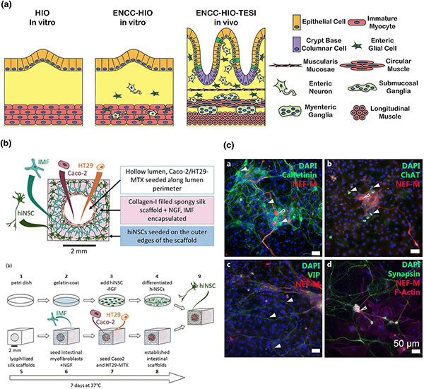 slide of Materials and Microenvironments for Engineering the Intestinal Epithelium